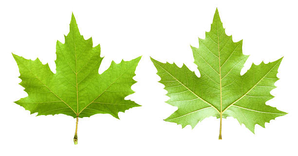 Maple leaf isolated on white background Green maple leaves isolated on white background. sycamore tree stock pictures, royalty-free photos & images