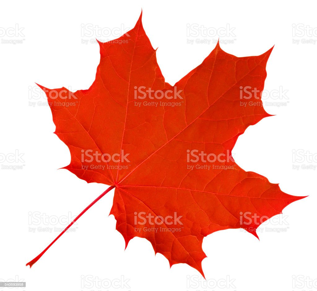Maple Leaf isolated - Red stock photo