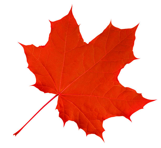 maple leaf isolated - red - maple leaf stock pictures, royalty-free photos & images