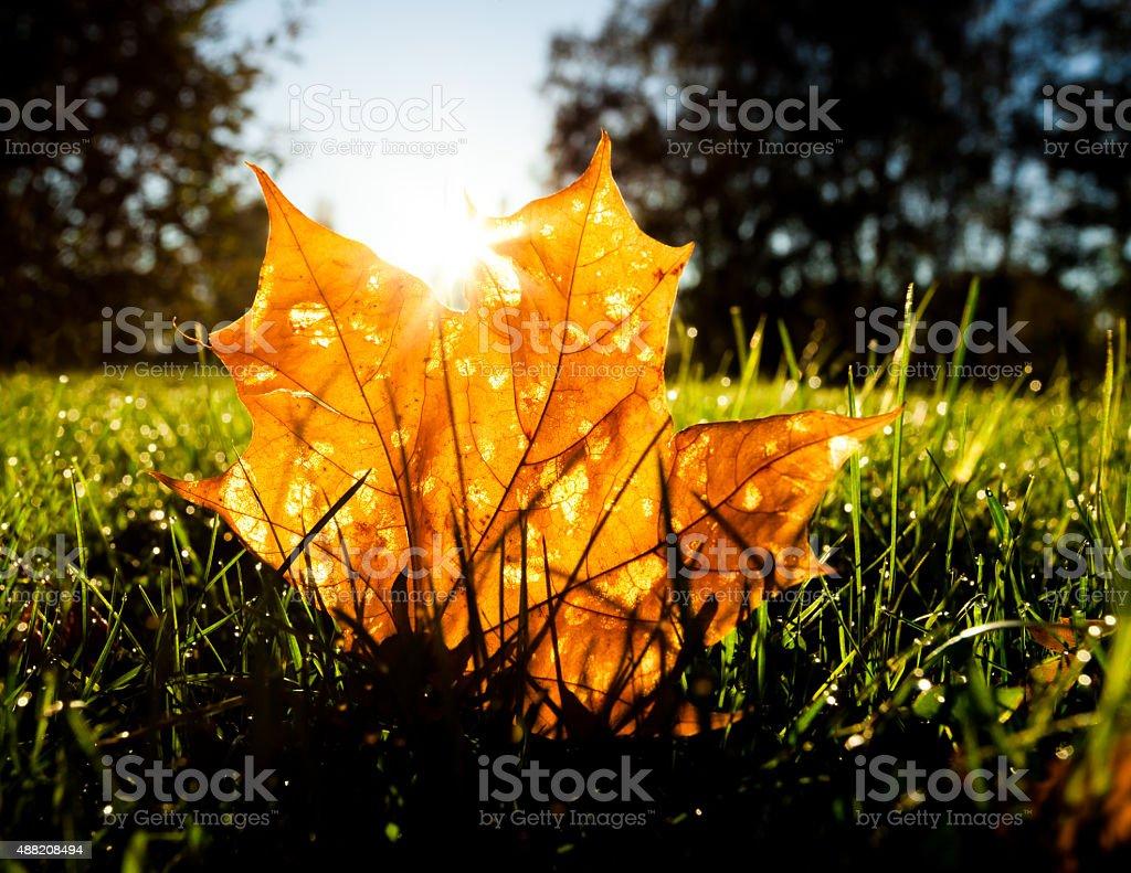 Maple leaf on grass illumited by sunrise light stock photo