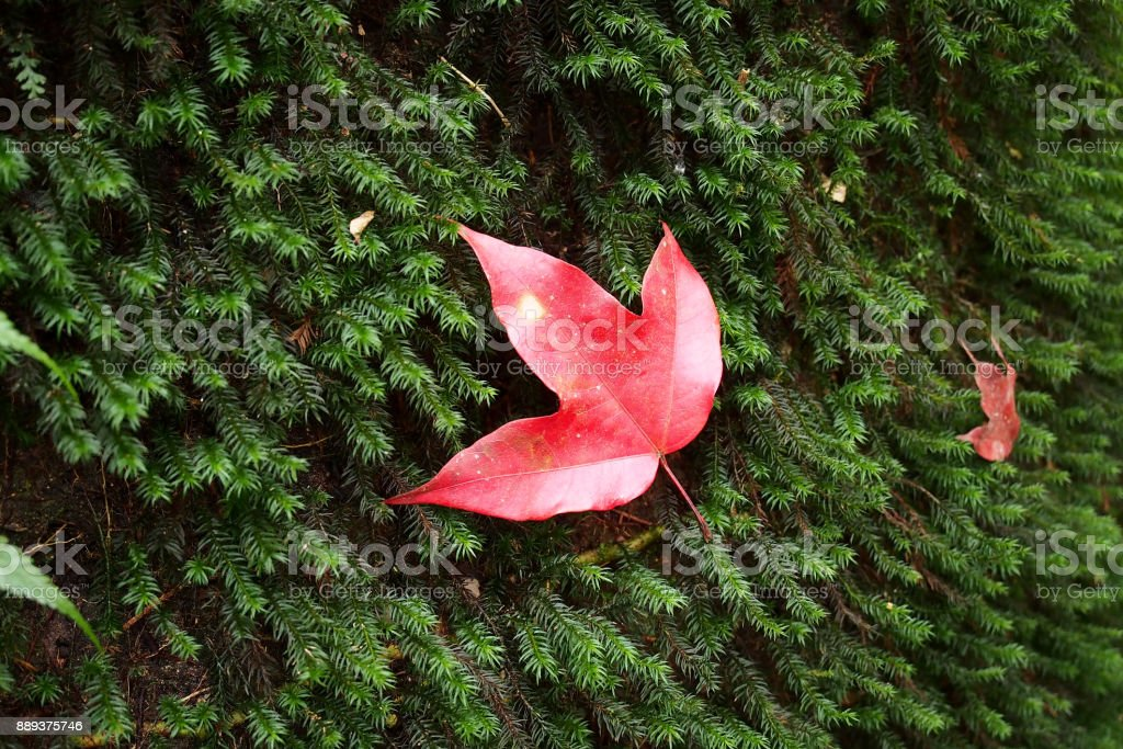 Maple leaf on grass stock photo