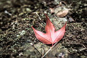 Maple leaf on he ground