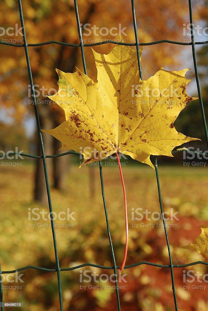 Maple leaf on the fence royaltyfri bildbanksbilder