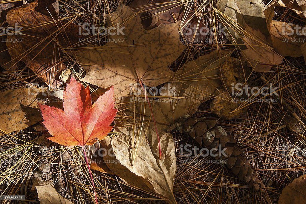 Maple leaf on the ground royalty-free stock photo