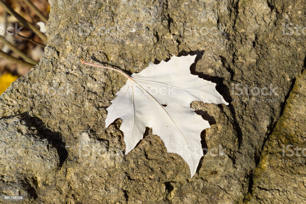 maple leaf on the stone. Spider near the leaf. Inverted maple le stock photo