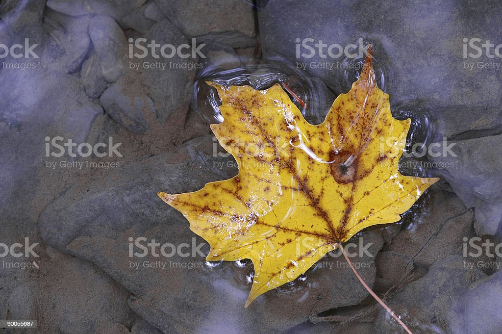 Maple leaf on water royalty-free stock photo