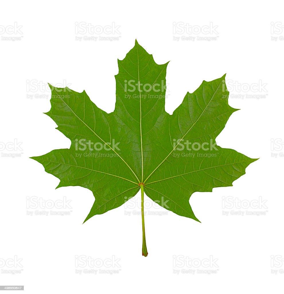 maple leaf on white background, macro photo, stock photo
