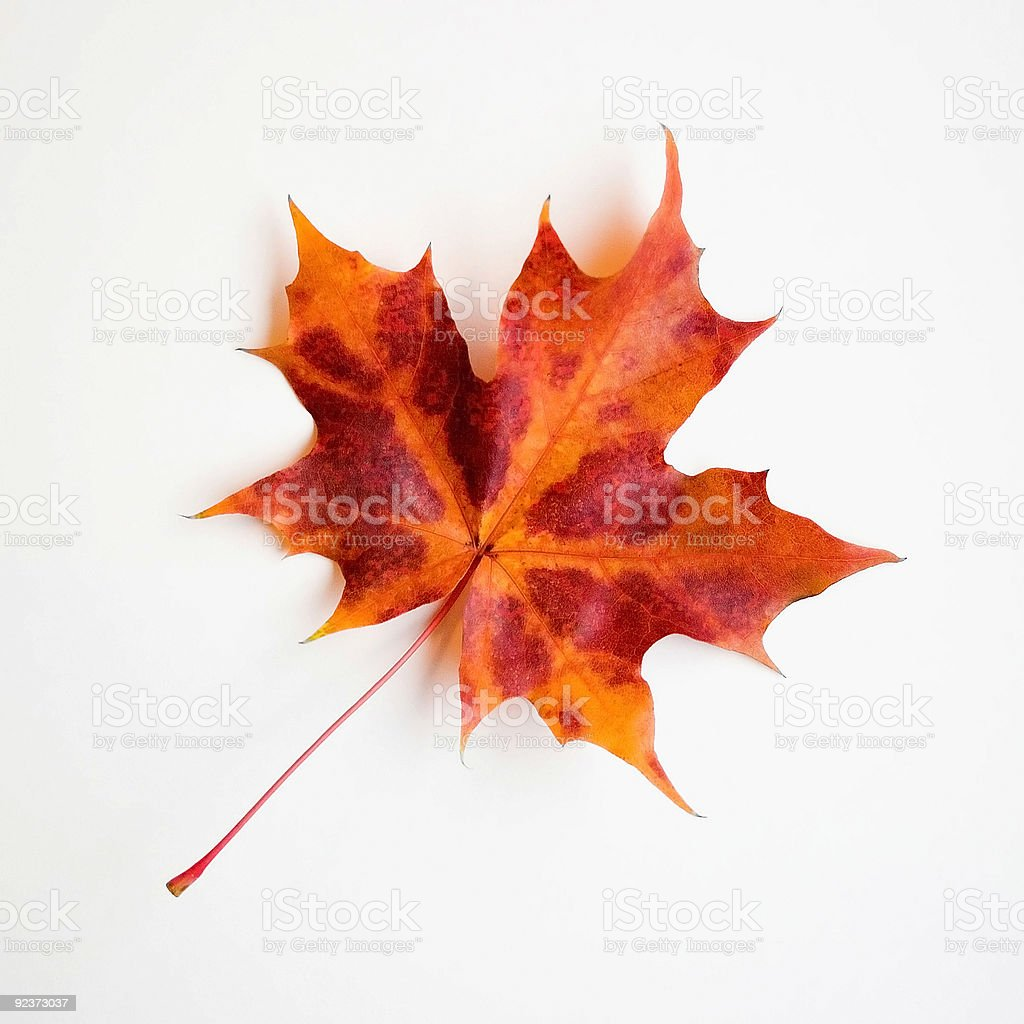 Maple Leaf on White royalty-free stock photo