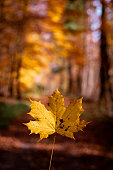 A beautiful colored maple leaf in the Black Forest