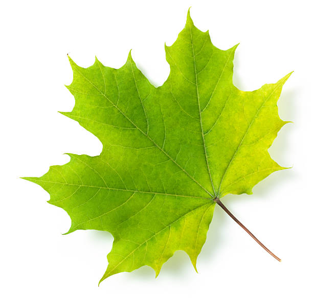 maple leaf - maple leaf stock pictures, royalty-free photos & images