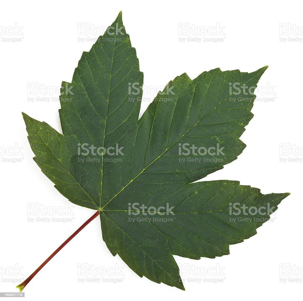 Maple leaf (Acer pseudoplatanus) stock photo