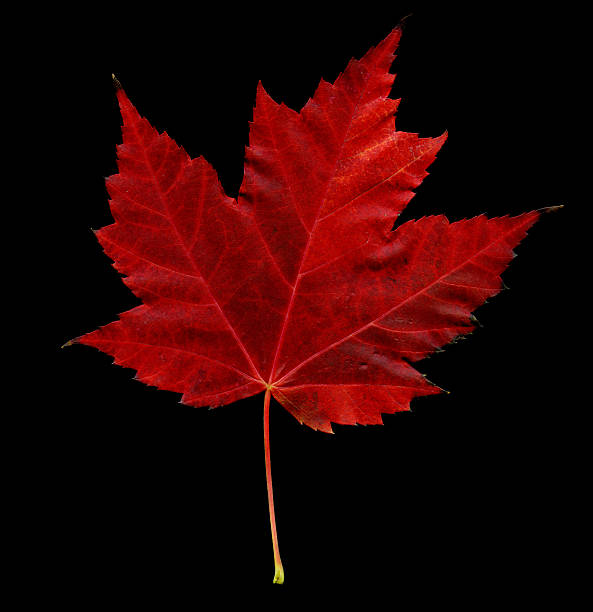 Maple leaf (XXXL)