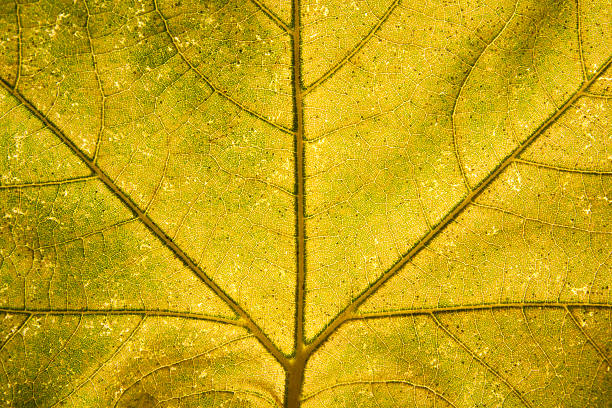 maple leaf – Foto