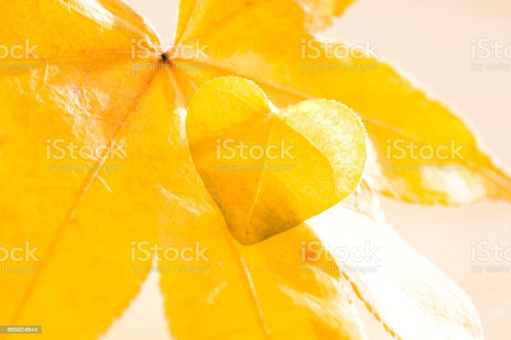 Maple Leaf foto stock royalty-free