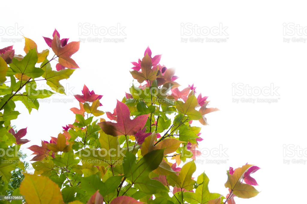Maple leaf foto stock royalty-free