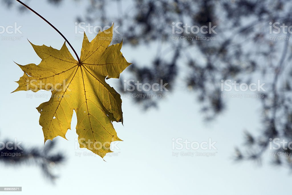 Maple leaf Lizenzfreies stock-foto