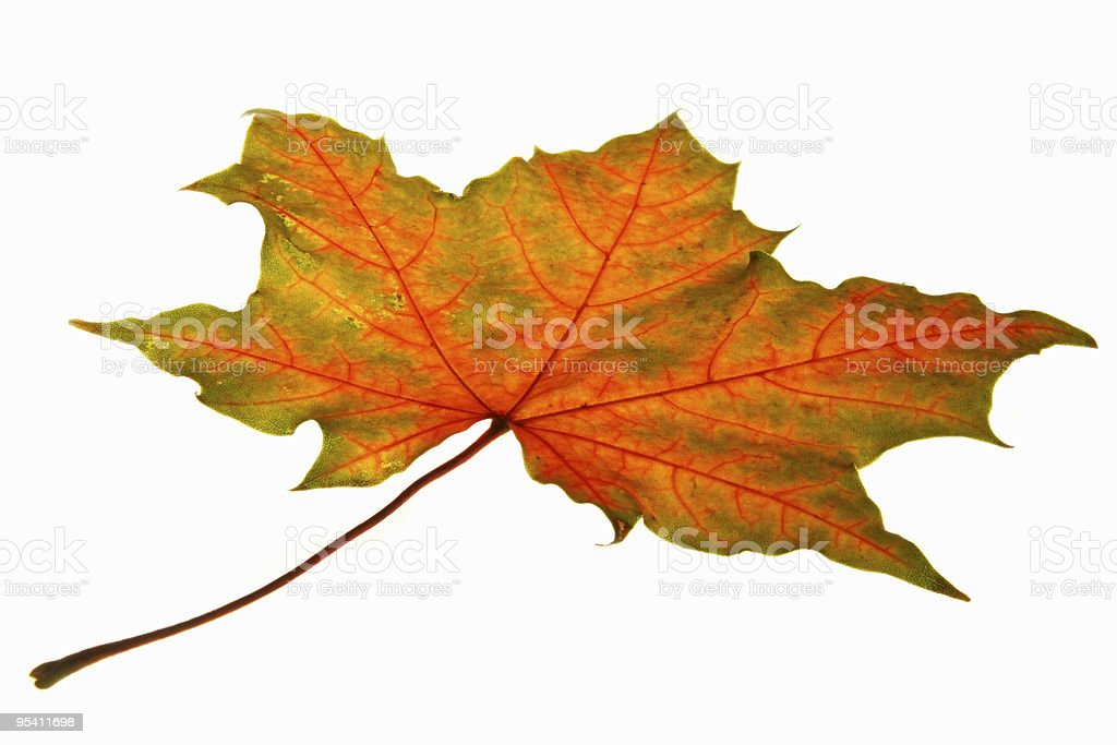 Maple leaf Lizenzfreies stock-foto