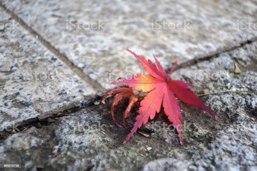 Maple leaf zbiór zdjęć royalty-free