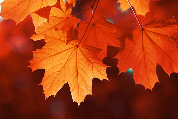 maple leaf red autumn - maple leaf stock pictures, royalty-free photos & images