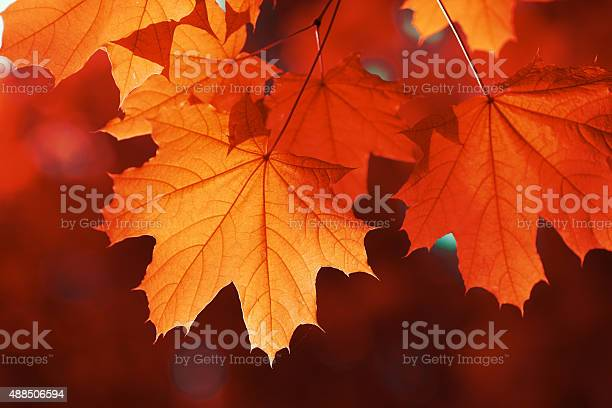 Photo of maple leaf red autumn