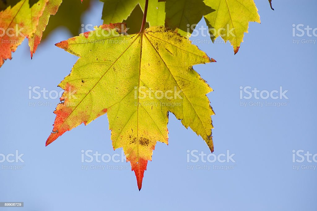 Maple Leaf Red Tip royalty-free stock photo
