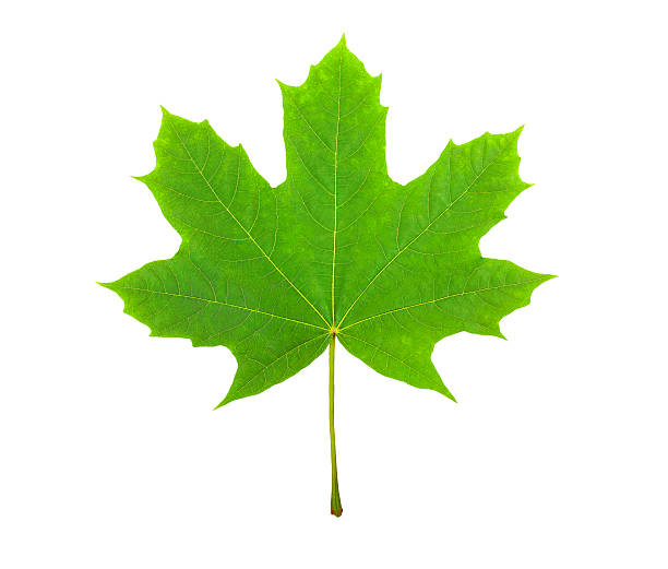 Maple Leaf, Stock Image green leaf, canada symbol, on a white background, a lot of details, stock photo sycamore tree stock pictures, royalty-free photos & images