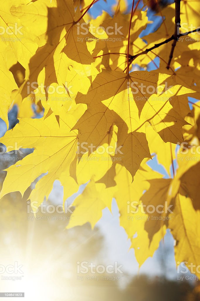 Maple leafes inGreen Park royalty-free stock photo