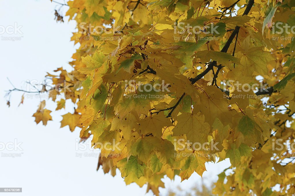 Maple Leafs 4 royalty-free stock photo