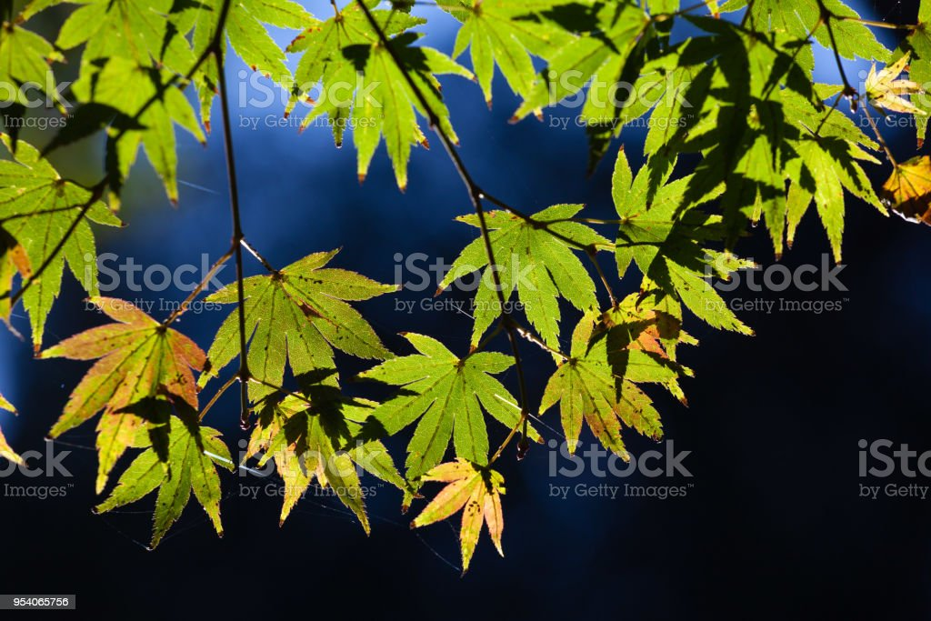 Maple leafs glowing in sunlight on dark background - fall themes stock photo