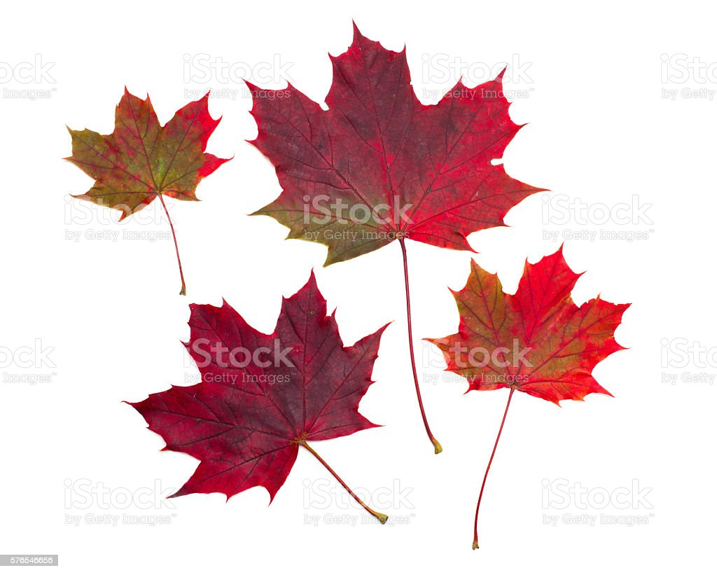 maple leafs sur blanc - Photo