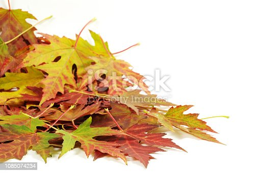 istock maple leafs 1085074234