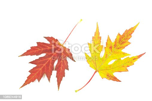 istock maple leafs 1089244916