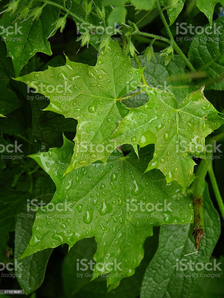 Maple leafs stock photo