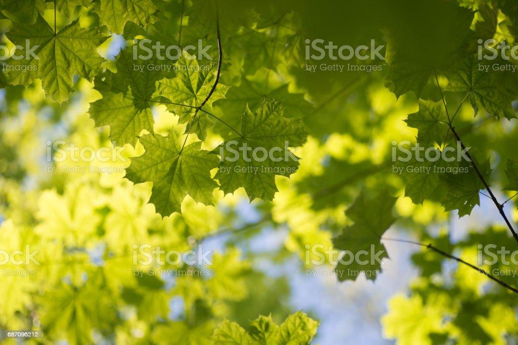 maple leaves  against blue sky selective focus Lizenzfreies stock-foto