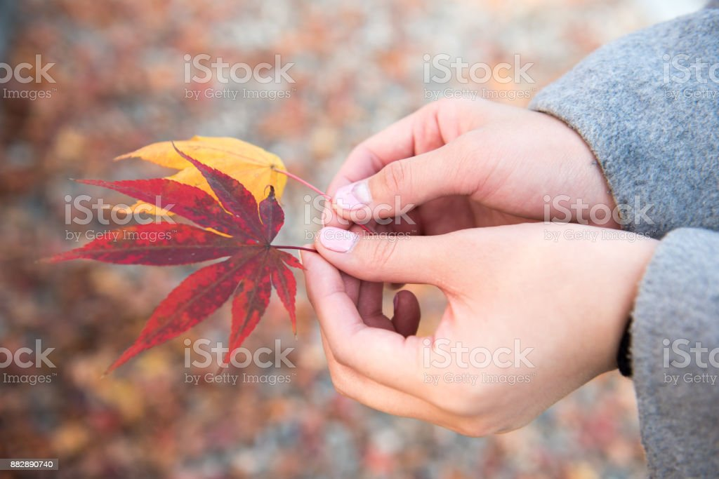 Maple leaves and hands of woman stock photo