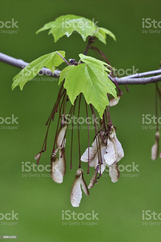 Maple leaves and seeds royalty-free stock photo