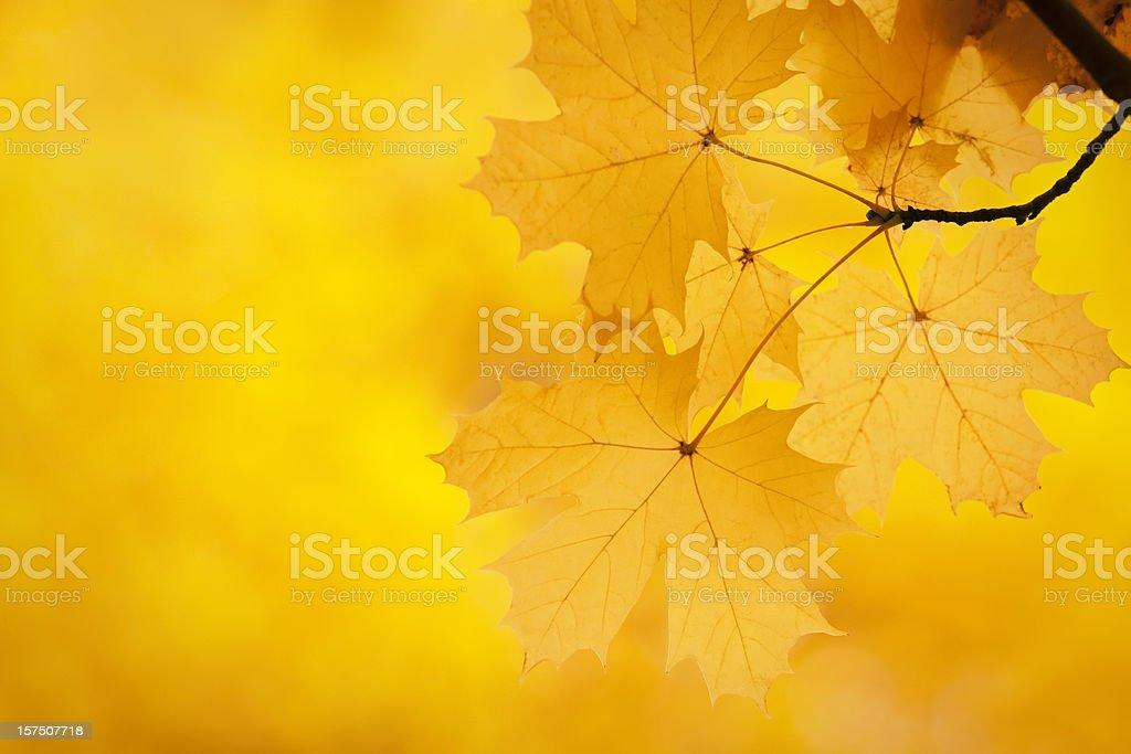 Maple leaves autumn background royalty-free stock photo