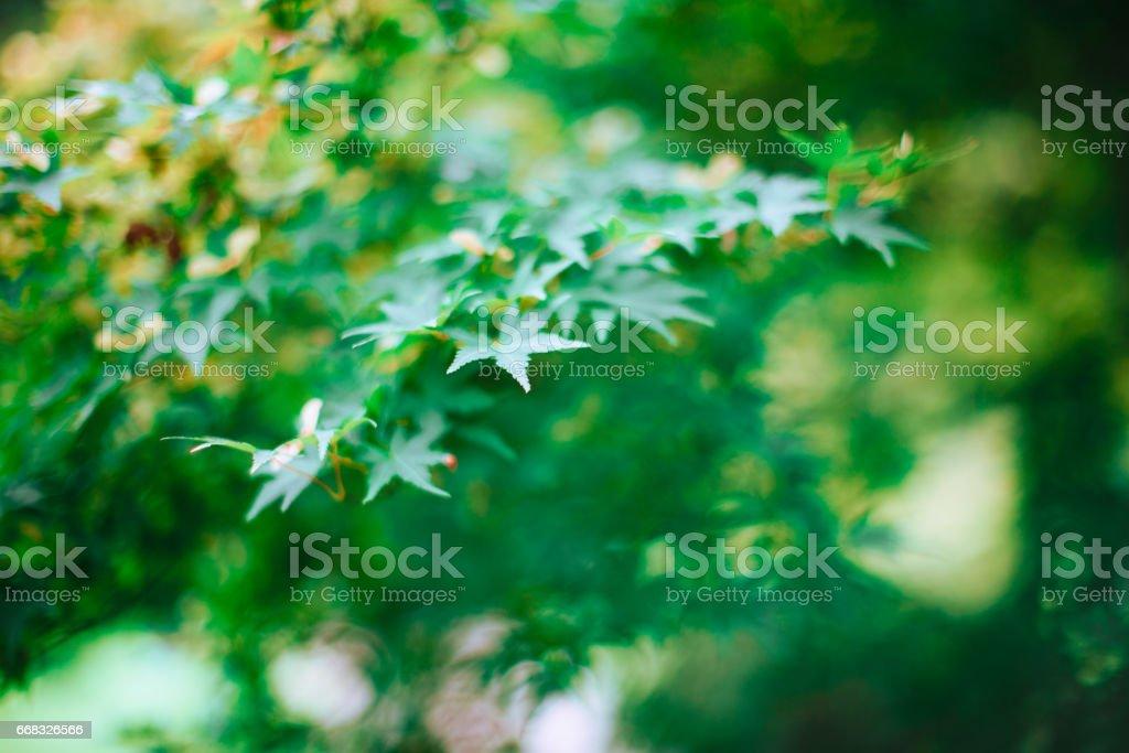 Maple leaves closeup stock photo