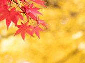カエデの葉が赤い色