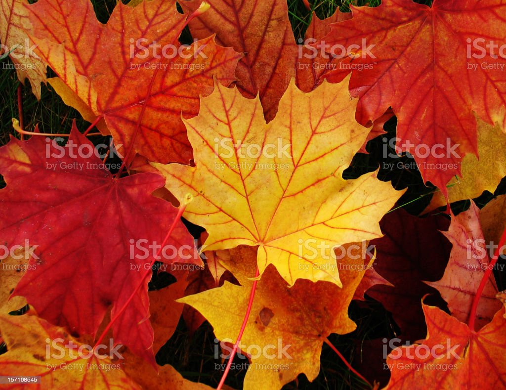 Maple leaves in autumn colours royalty-free stock photo