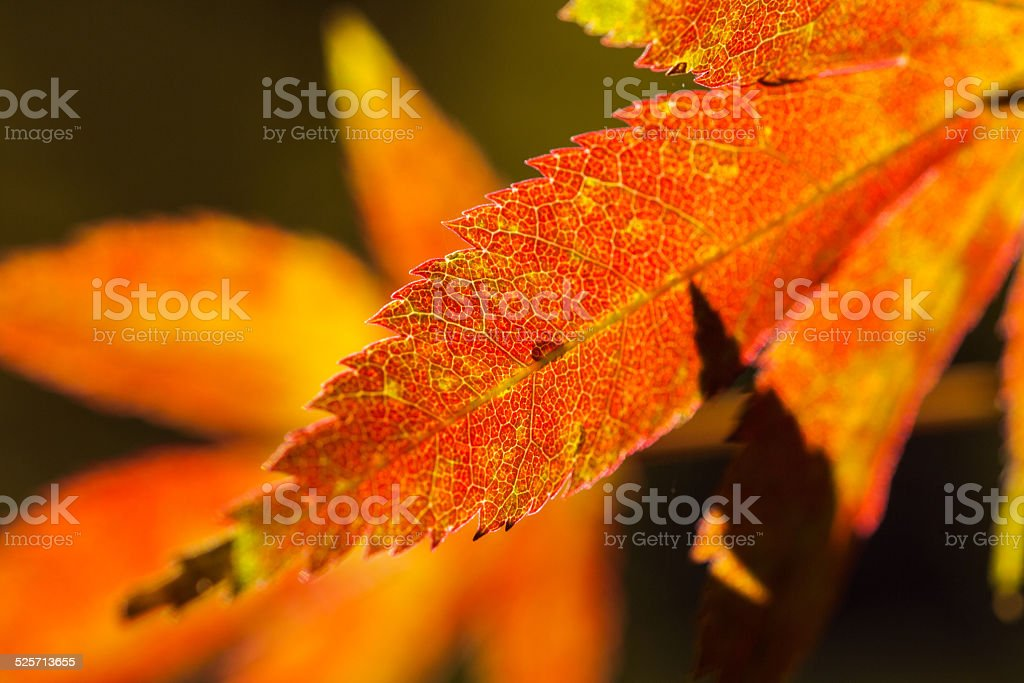 Foglie d'acero in autunno stock photo
