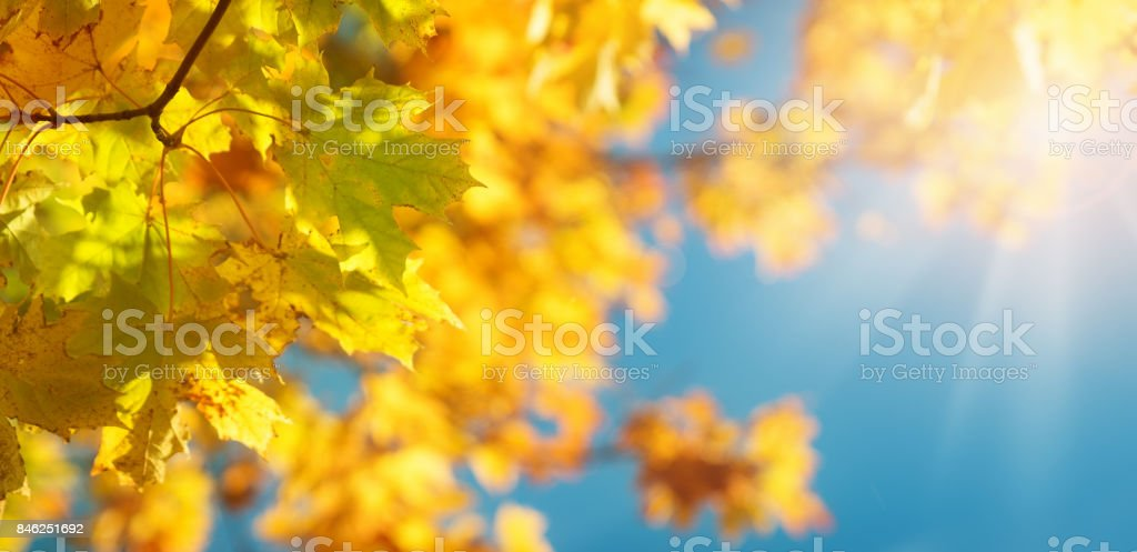 Maple leaves in autumn stock photo