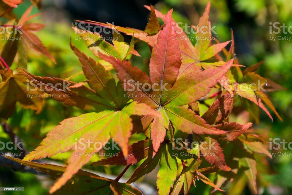 Maple leaves in autumn tint stock photo