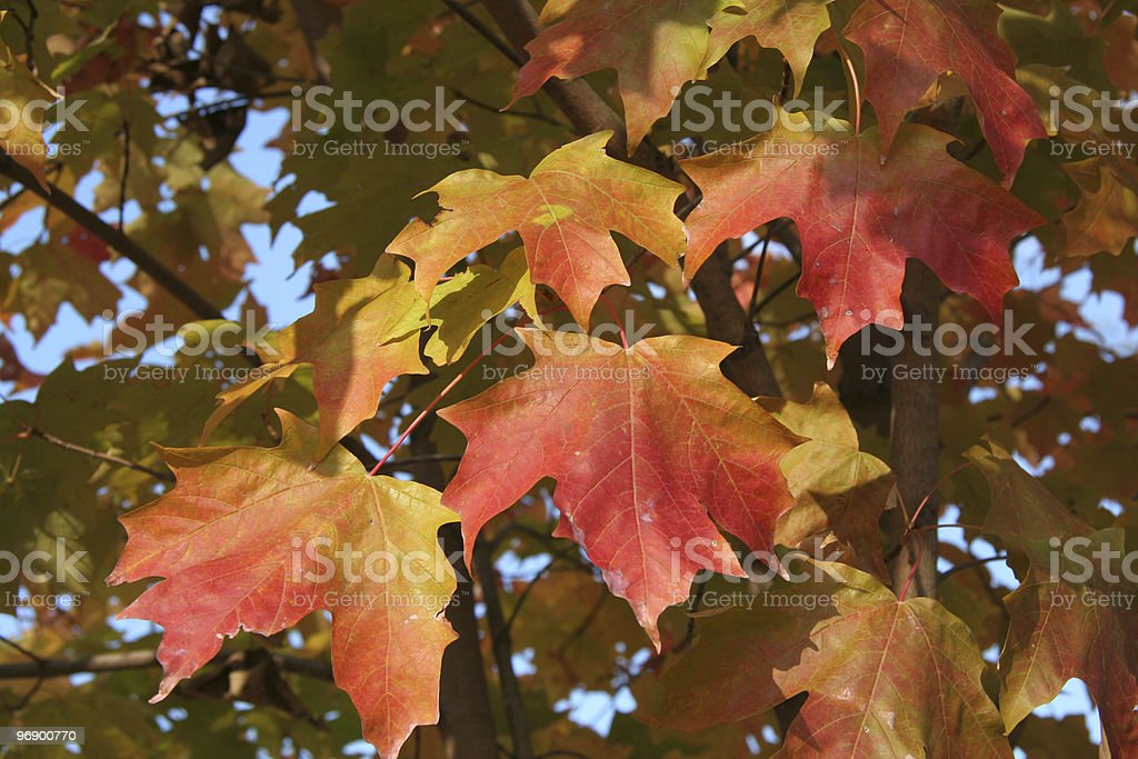 Maple Leaves in Fall royalty-free stock photo