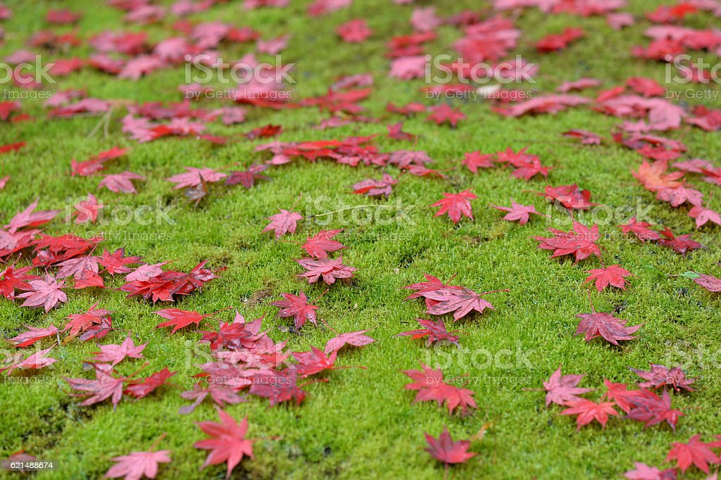 Maple Leaves in field of Grass foto stock royalty-free