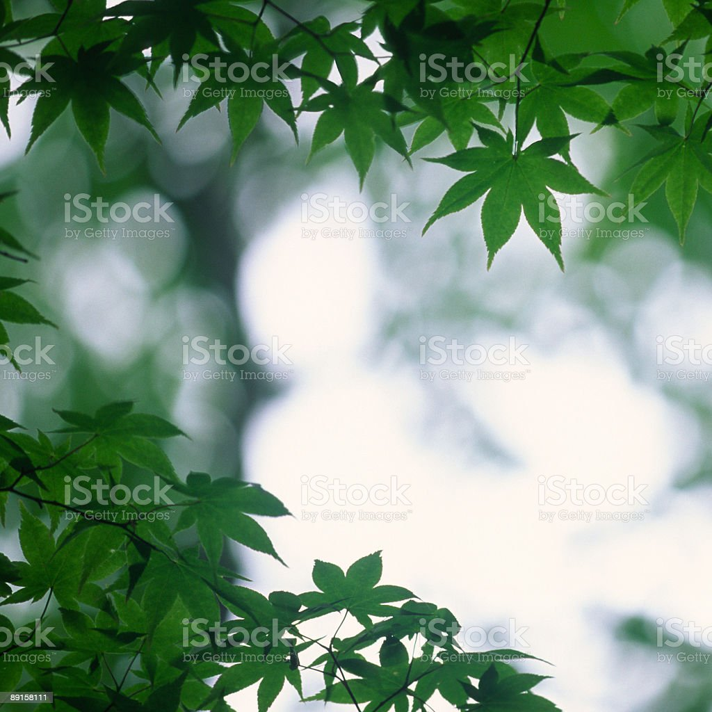 Maple leaves in Japan royalty-free stock photo