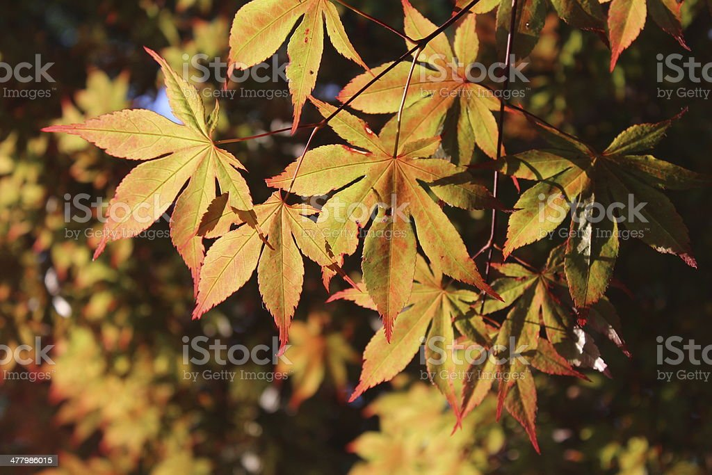 Maple leaves in Spring royalty-free stock photo
