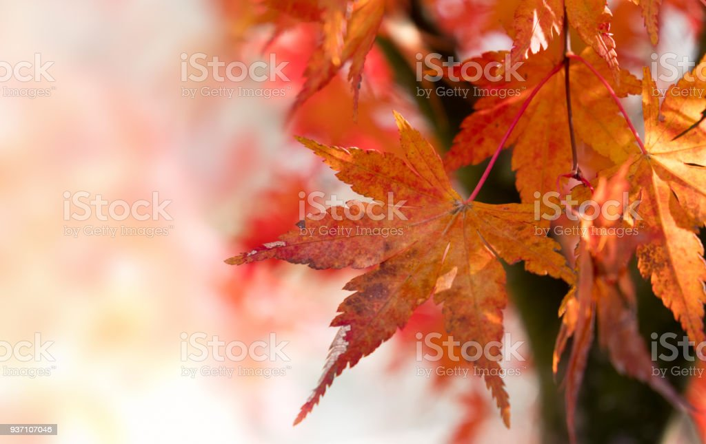Maple leaves in the forest stock photo