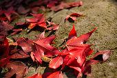 Fallen maple leaves on the rock