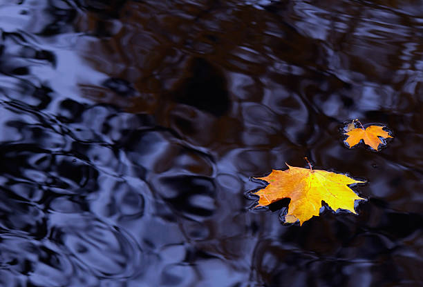 Maple leaves on water stock photo
